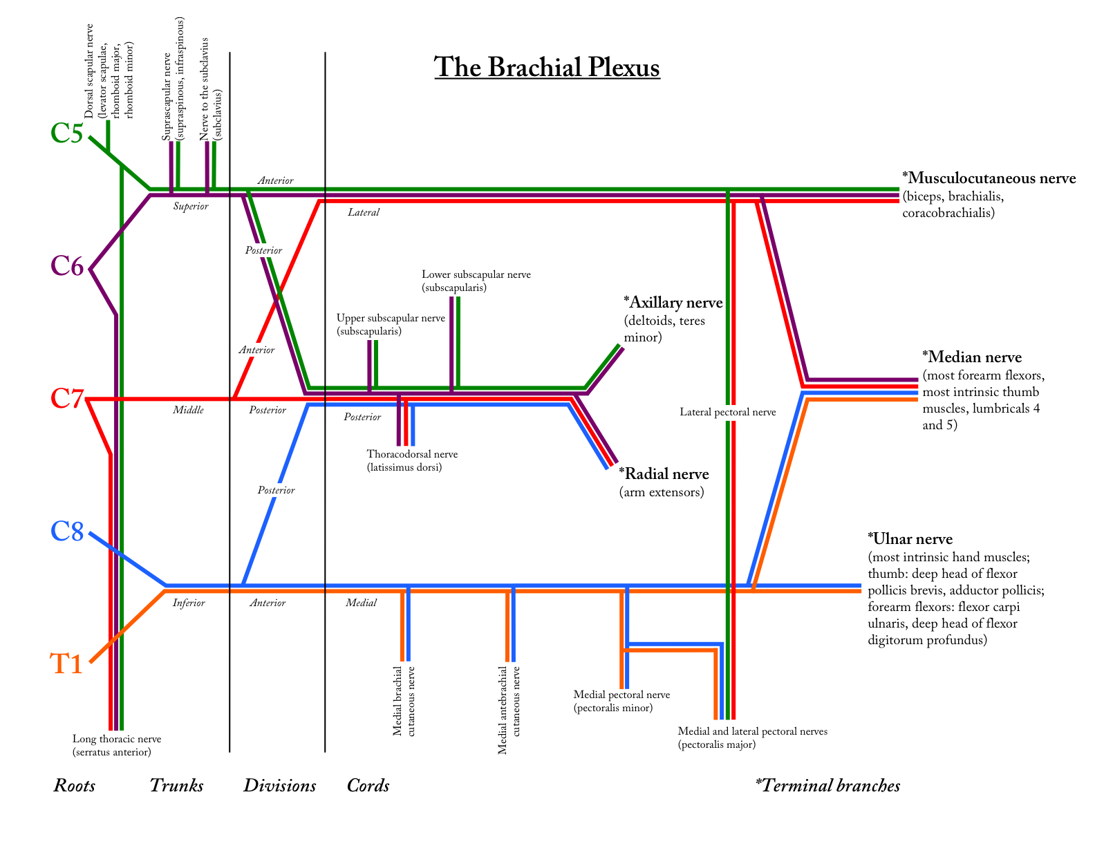 brachial plexus schematic - photo #5