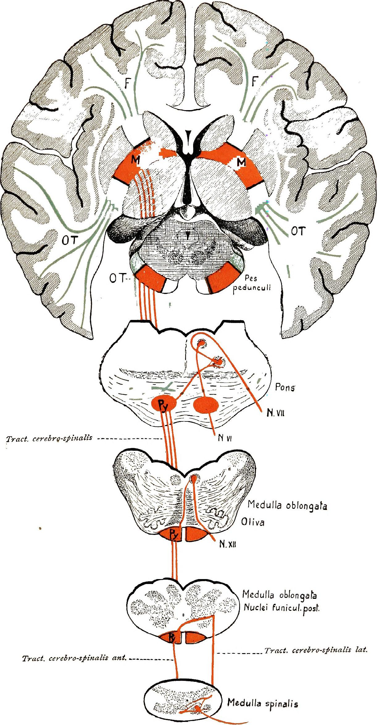 File:Brain and spinal cord; a manual for the study of the ...