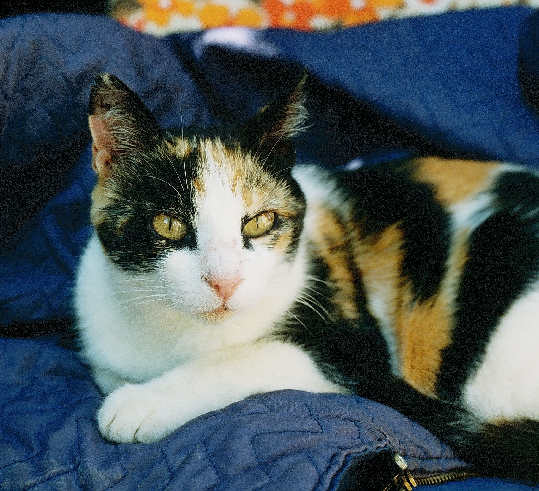 file calico she cat with short hair jpg wikimedia commons