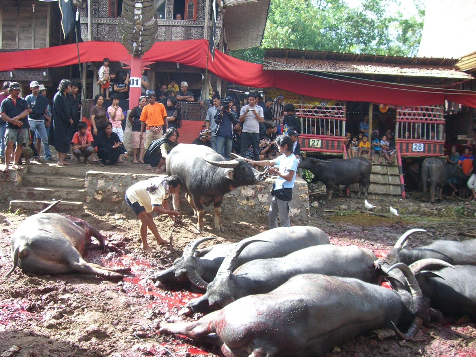 Tana Toraja Indonesia  city photo : ... :Calming buffalo before cutting his throat Tana Toraja Indonesia