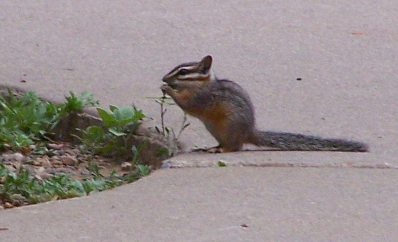 The average litter size of a Cliff chipmunk is 5