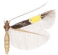 <i>Cosmopterix citrinopa</i>
