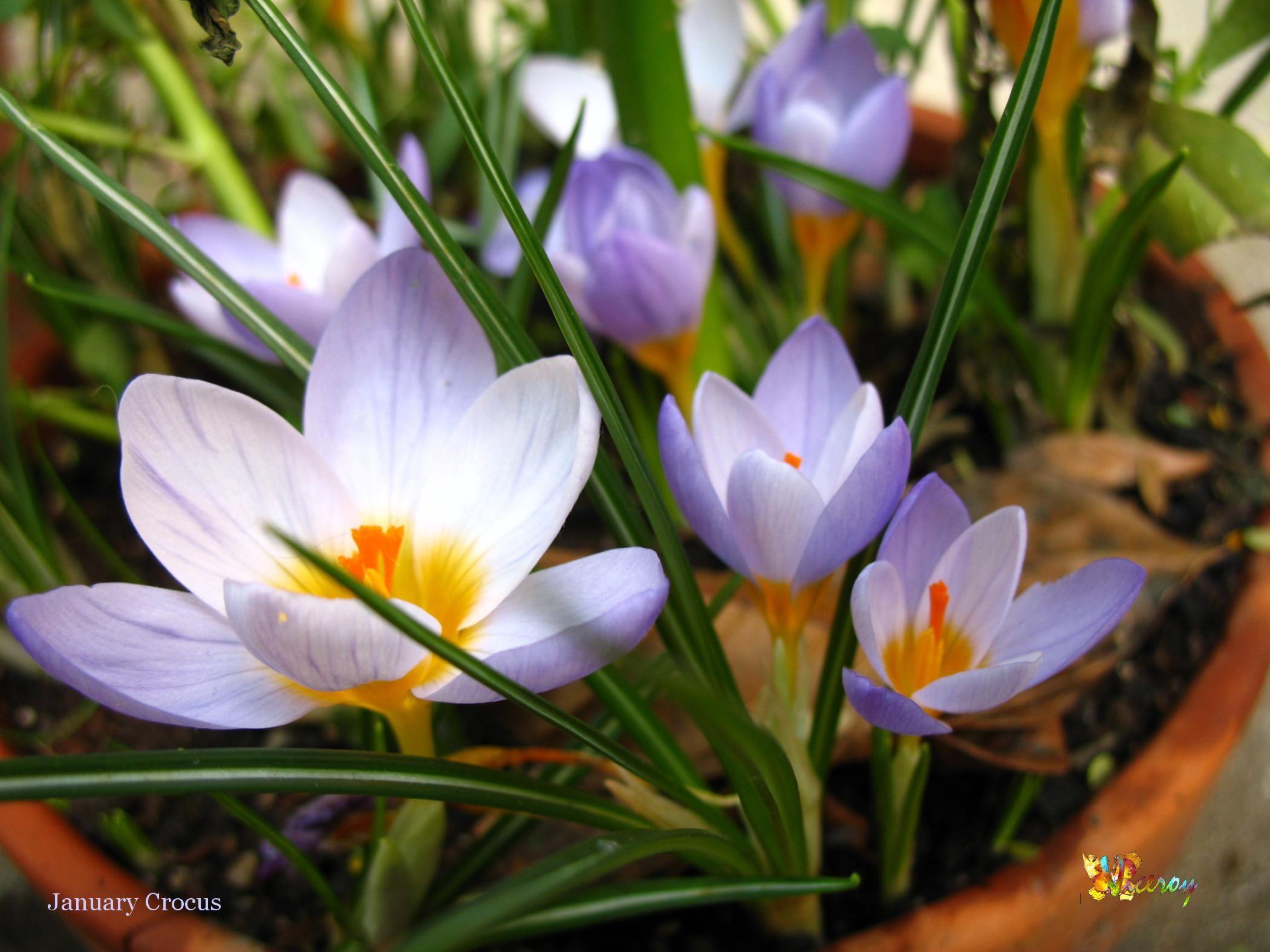 File Crocus Flower Blooming In Southern California Jpg
