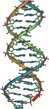 DNA double helix vertikal.PNG