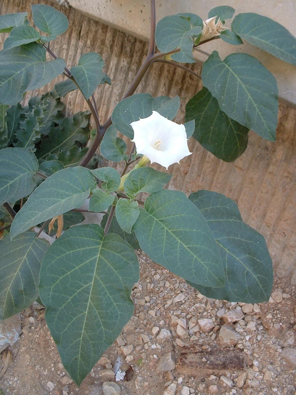 Datura innoxia - Wikipedia