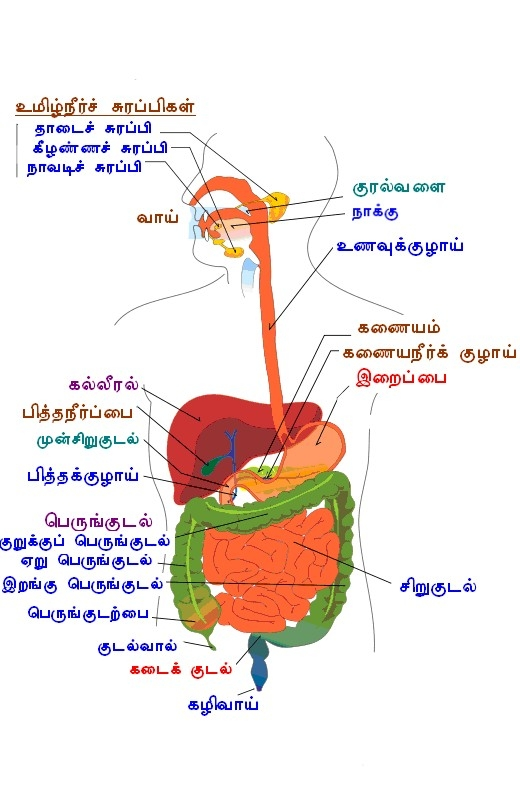 File:Digestion tamil words jpg - Wikimedia Commons
