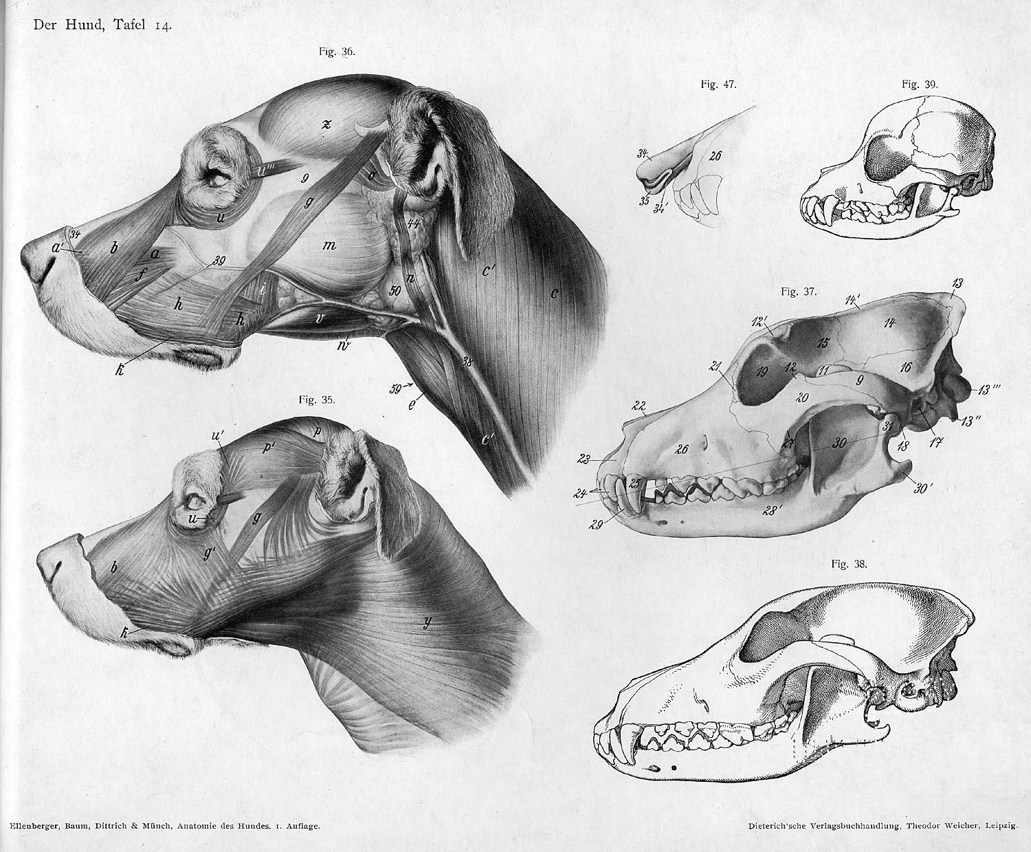 File:Dog anatomy head.jpg - Wikimedia Commons