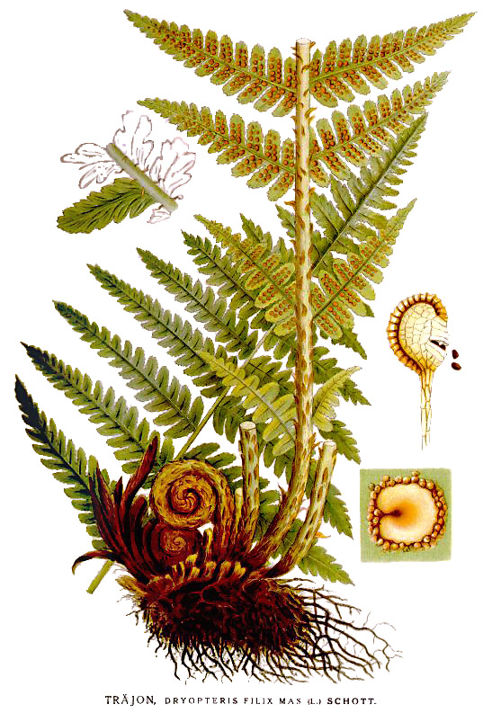 Dryopteris filix mas nf.jpg © Commons