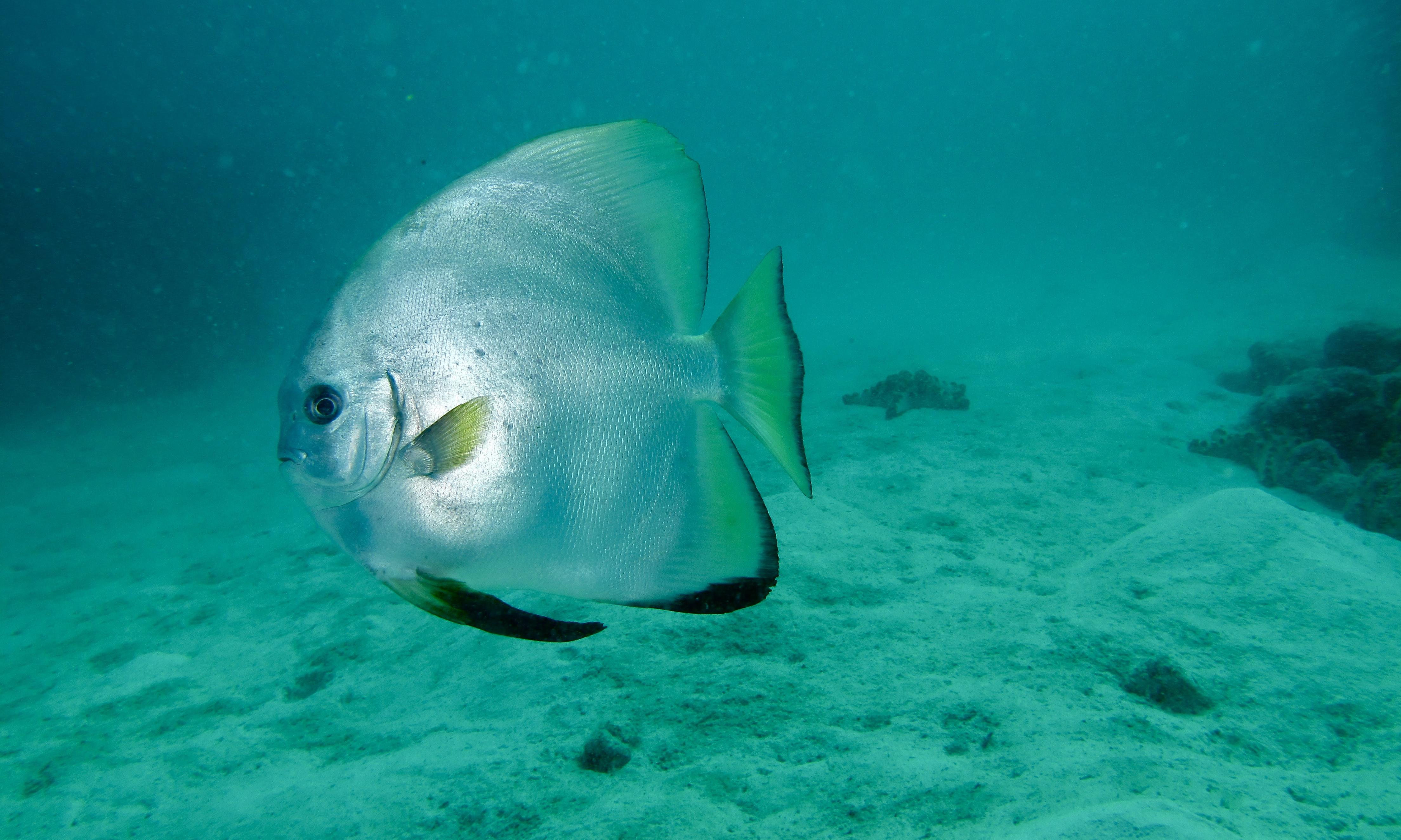 batfish pinnatus
