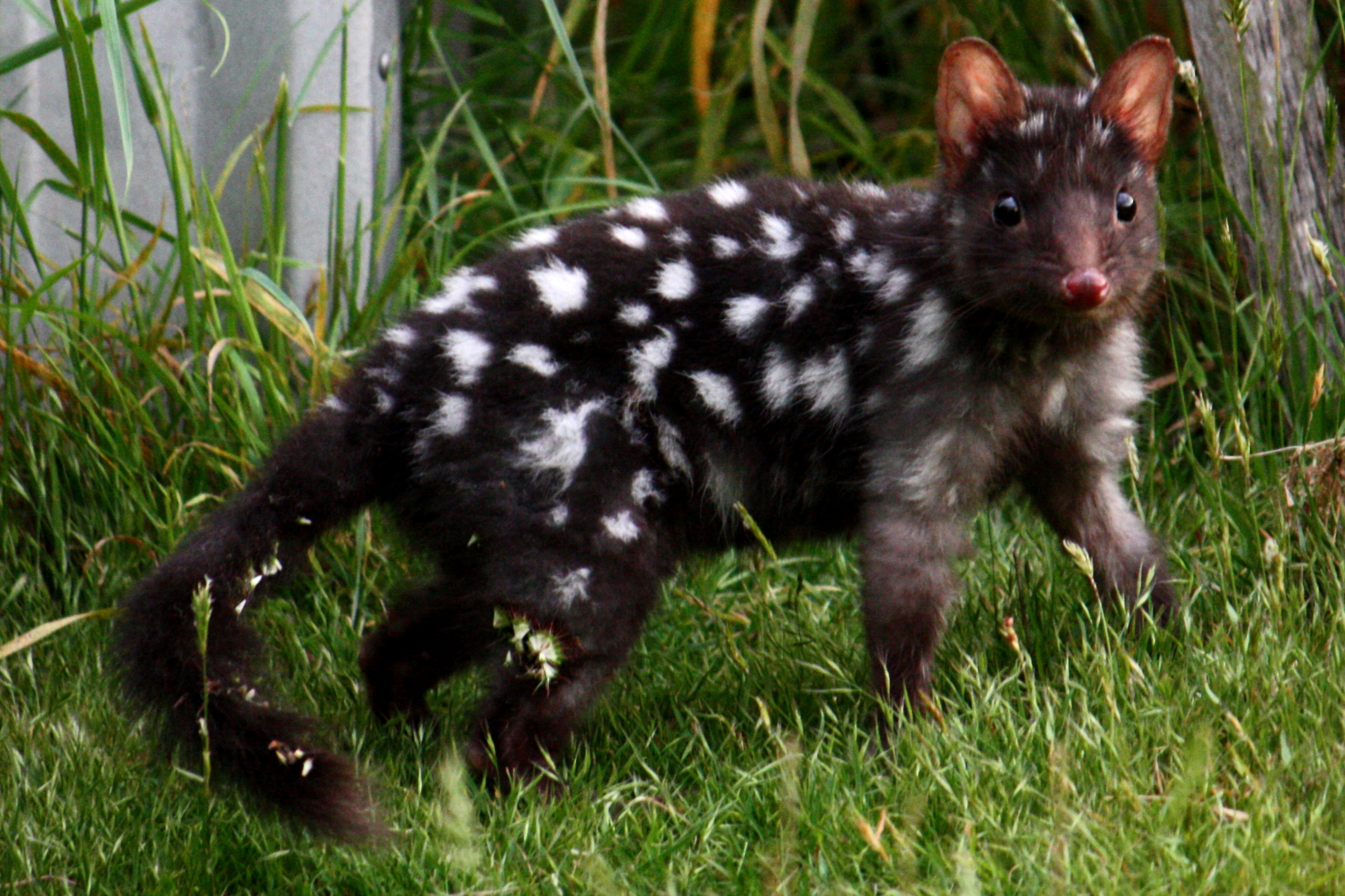 https://upload.wikimedia.org/wikipedia/commons/4/40/Eastern_Quoll_(Black).jpg