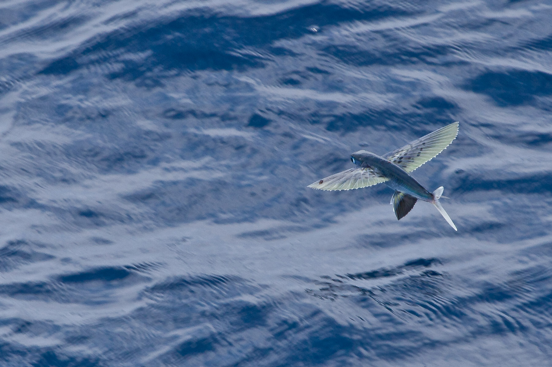 File:Flying Fish (5800263376).jpg - Wikimedia Commons