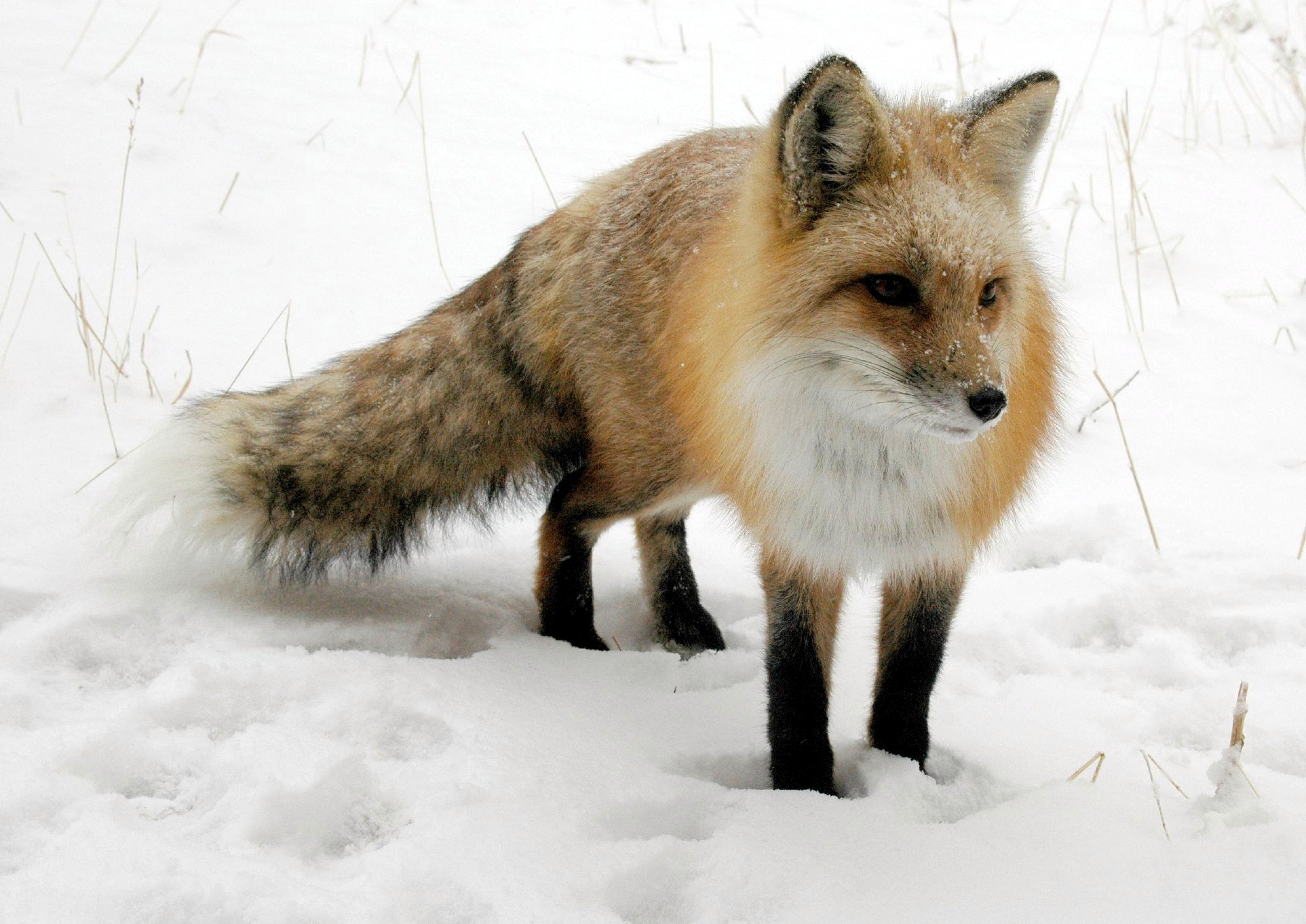 Image result for Fox in snow