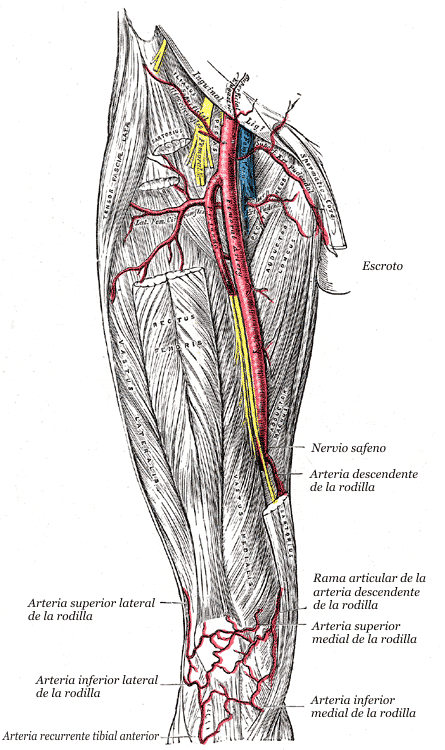 Arteria circunfleja femoral lateral - Wikiwand