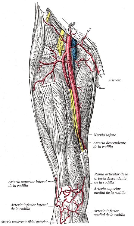 Arteria inferior medial de la rodilla - Wikiwand