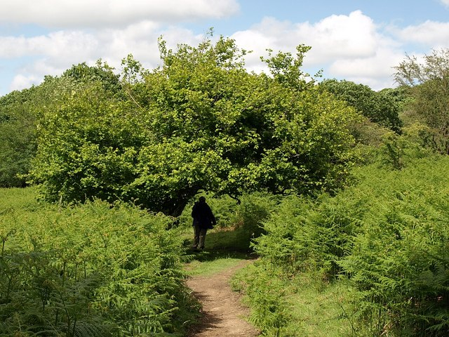 An image of a hazel tree stretching over a bridleway.