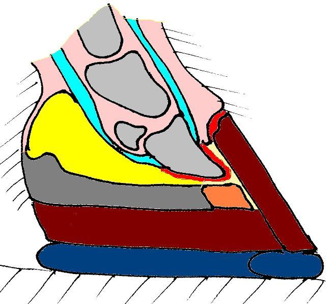 File:Horse hoof wild shod long sagittal.jpg - Wikimedia