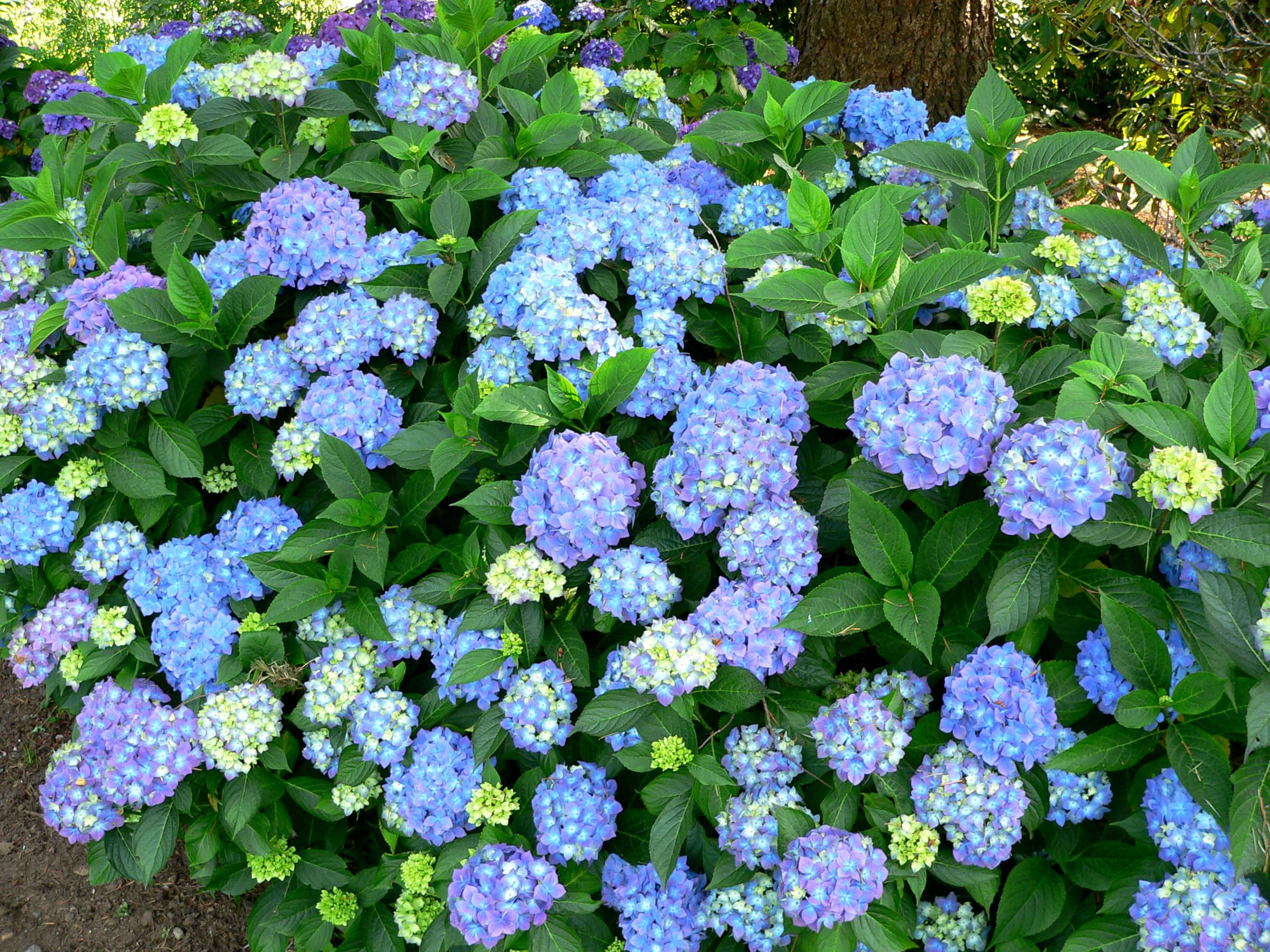 hydrangea macrophylla 39 blauer prinz 39 blauer prinz bigleaf hydrangea plant lust. Black Bedroom Furniture Sets. Home Design Ideas