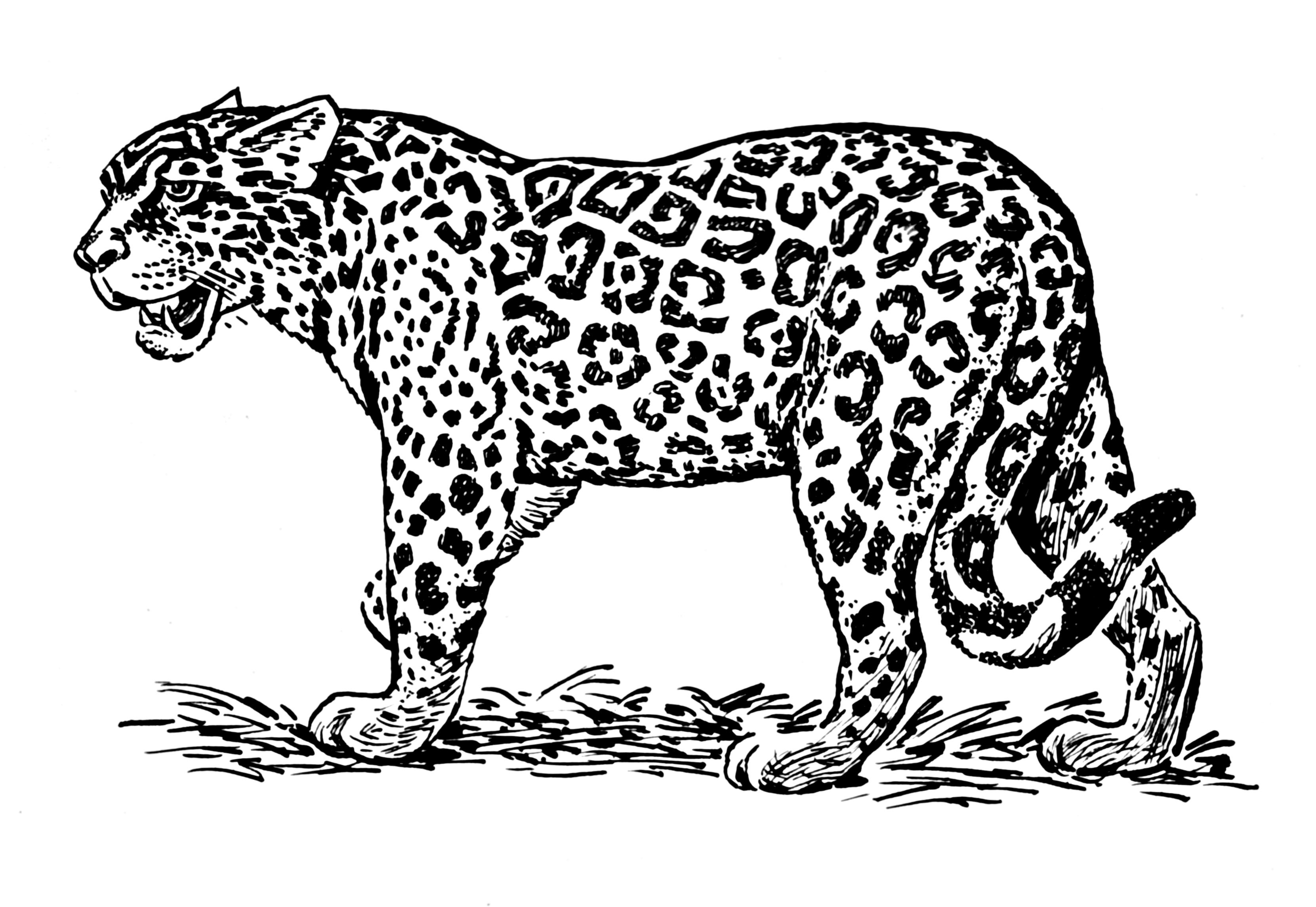 jaguar drawing -#main
