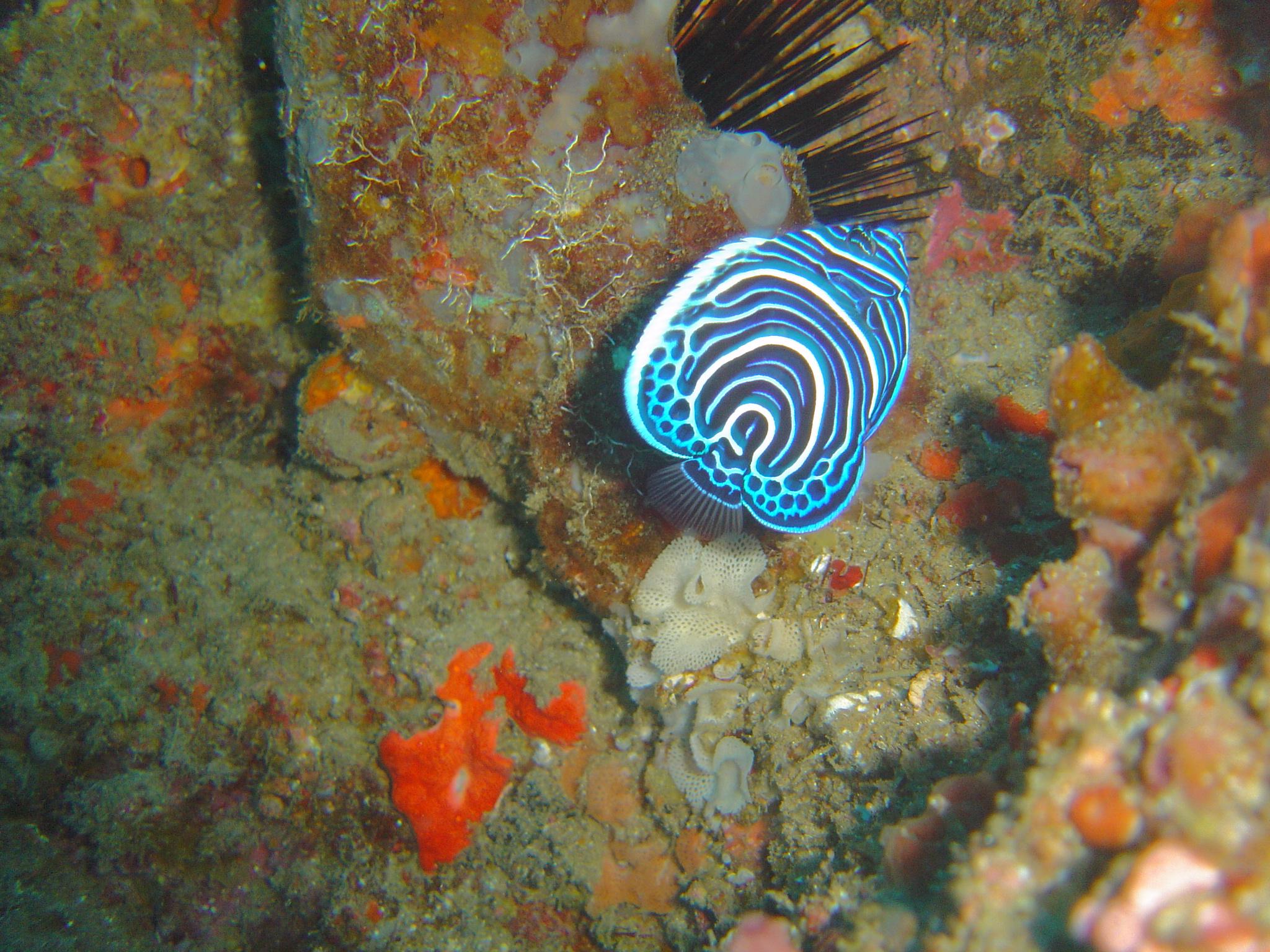 Emperor Angelfish Changing File:juv emperor angelfish at