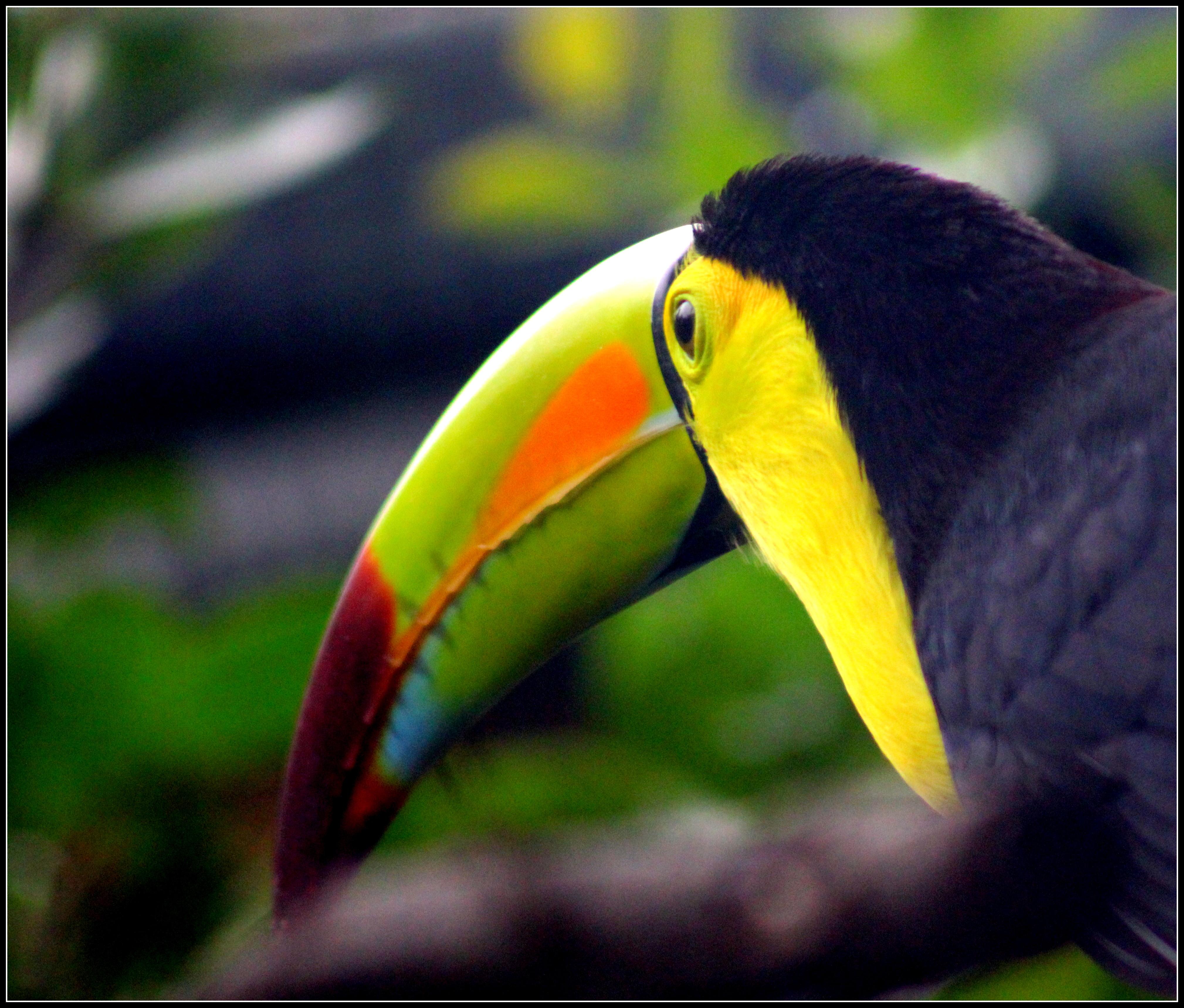 File:Keel-billed Toucan (7223039148).jpg - Wikimedia Commons