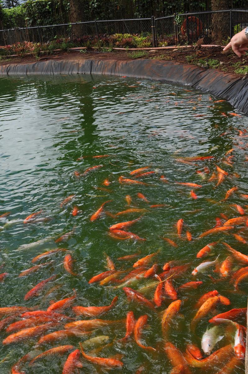File koi pond dole plantation 5720705359 jpg for Koi fish environment