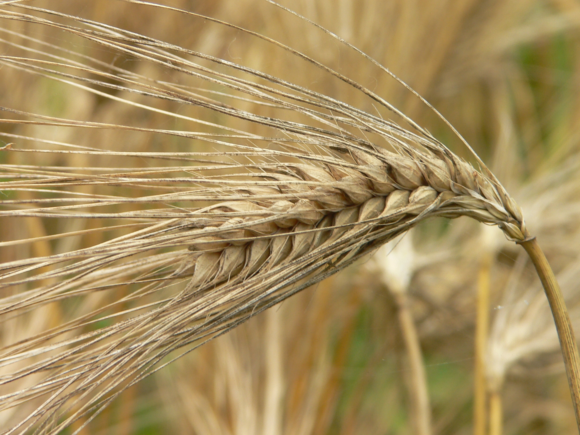 麦 危険 もち