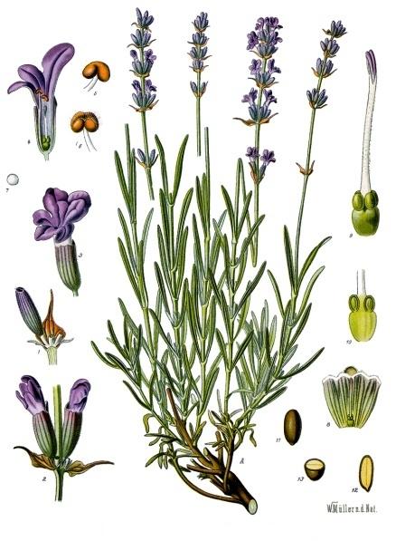Αρχείο: Lavandula angustifolia - Köhler-s-Medizinal Pflanzen-087.jpg