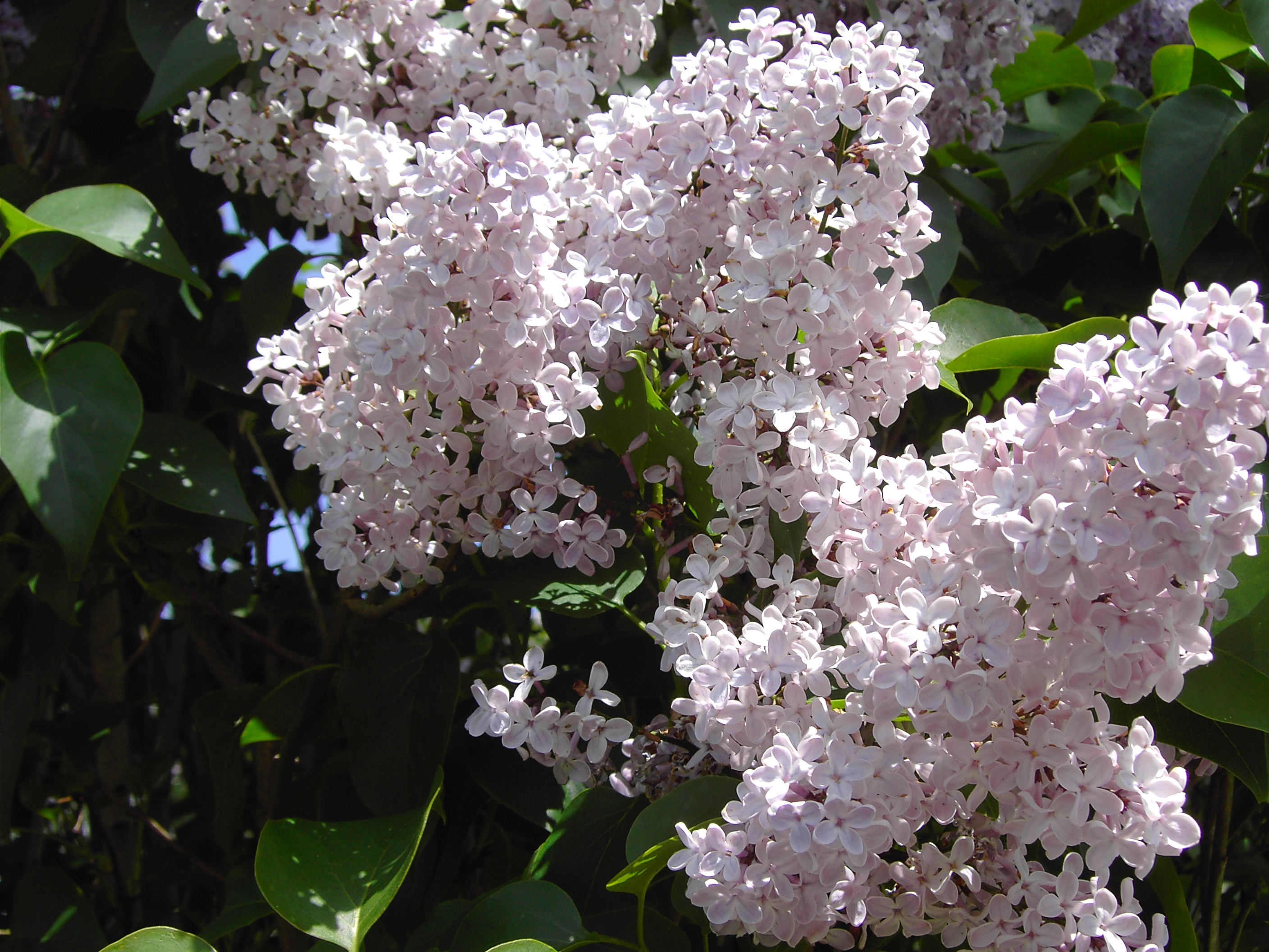 http://upload.wikimedia.org/wikipedia/commons/4/40/Lilas.JPG