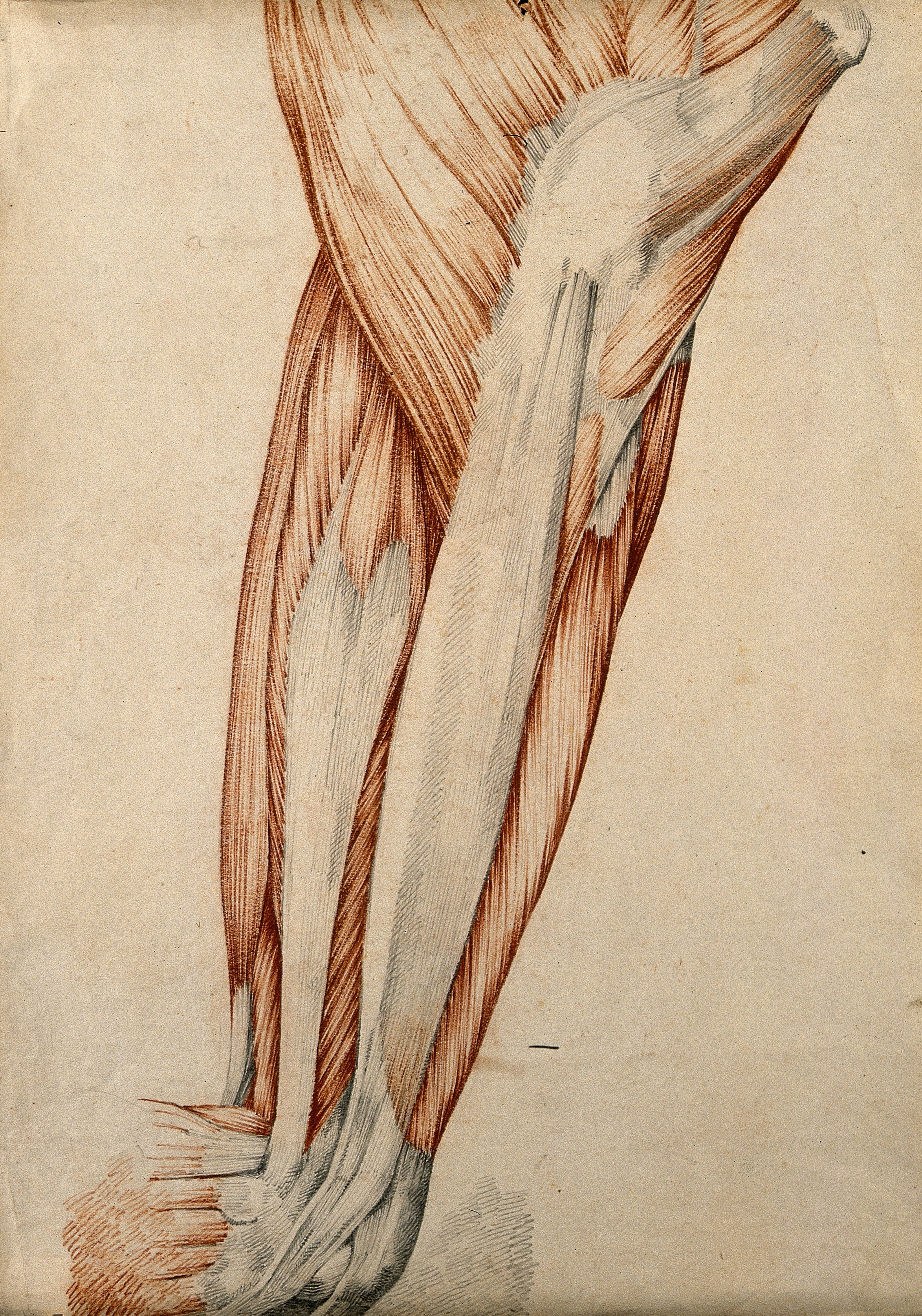 Filemuscles And Tendons Of The Thigh And Knee Joint Red Chalk A