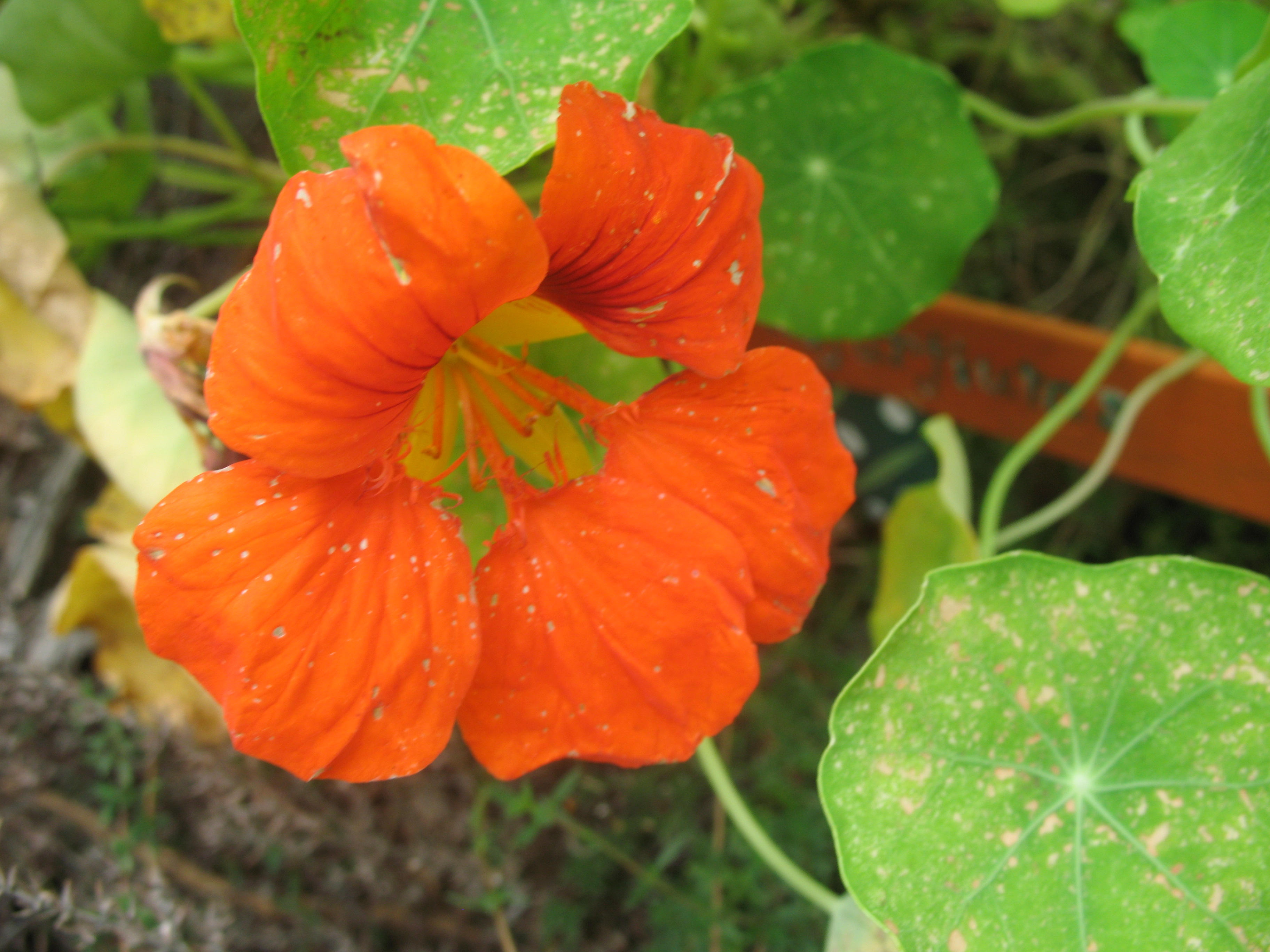 File Nasturtium Flower Wikimedia mons