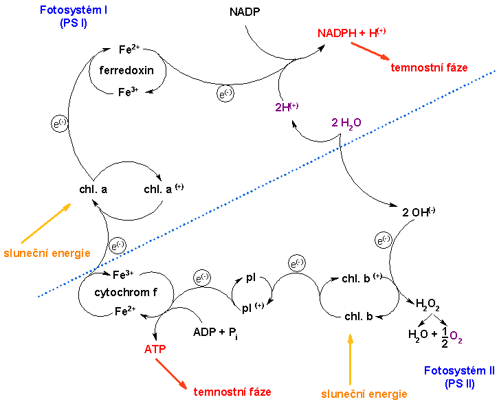 reactions of photosynthesis The nadph and h + spill into the stroma, where the nadph is reoxidized during the dark reactions of photosynthesis in the alternative pathway leading to the reoxida- tion of bound ferredoxin, electrons are transferred to cytochrome b 563.