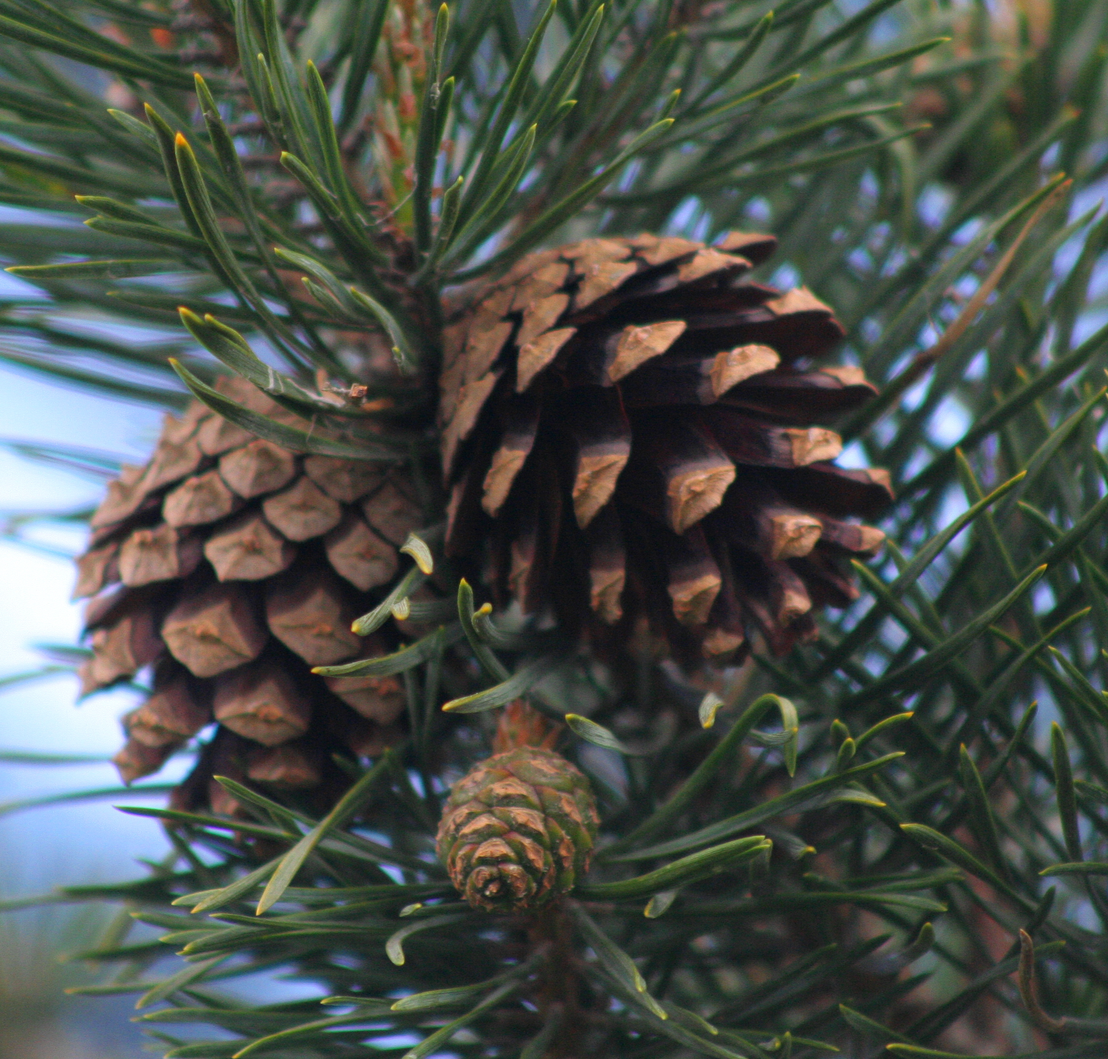 Species Of UK: Week 10: Scots Pine (Pinus Sylvestris