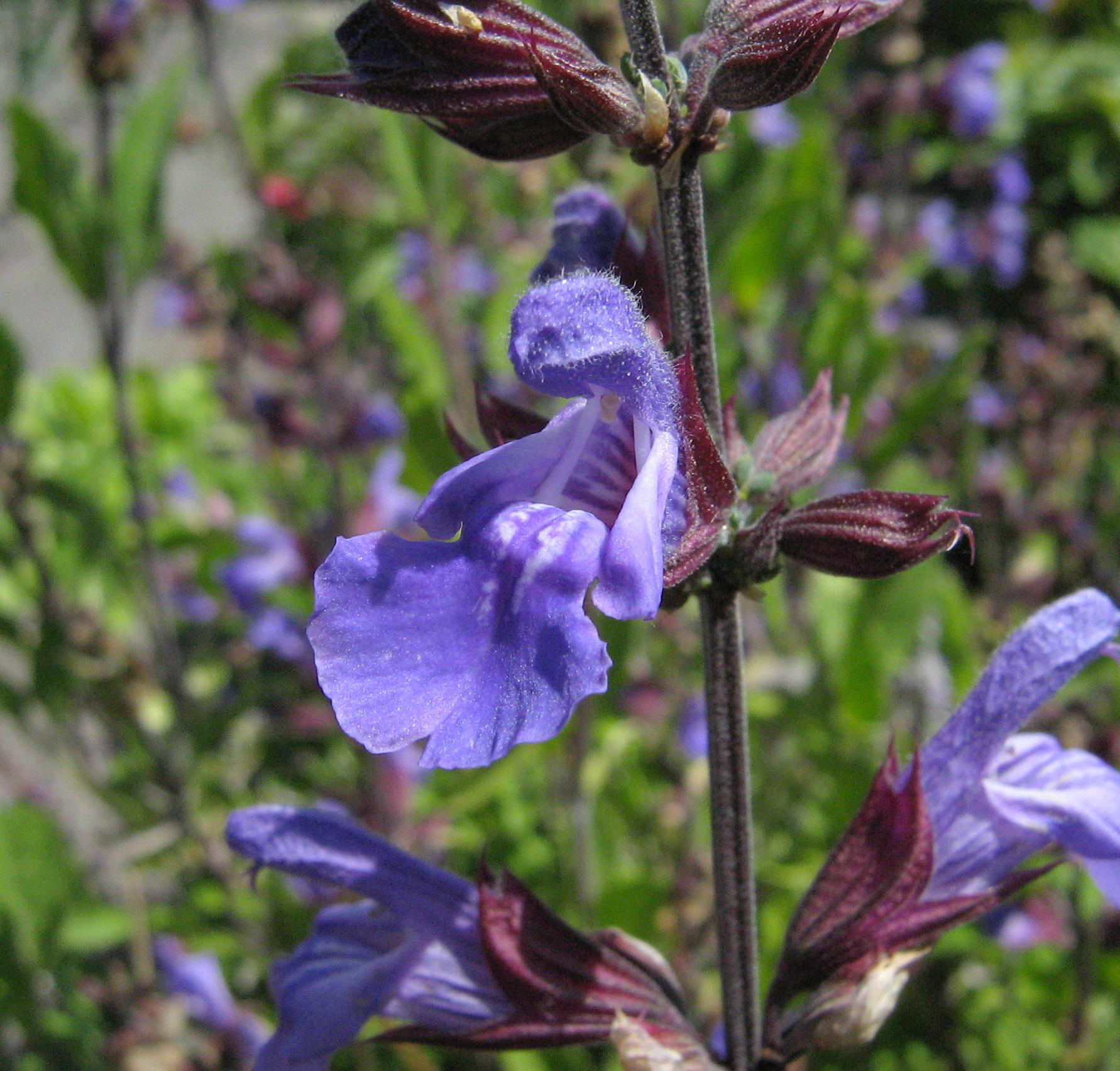Filesalvia officinalis flowerg wikimedia commons filesalvia officinalis flowerg mightylinksfo