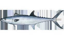 King mackerel species of fish