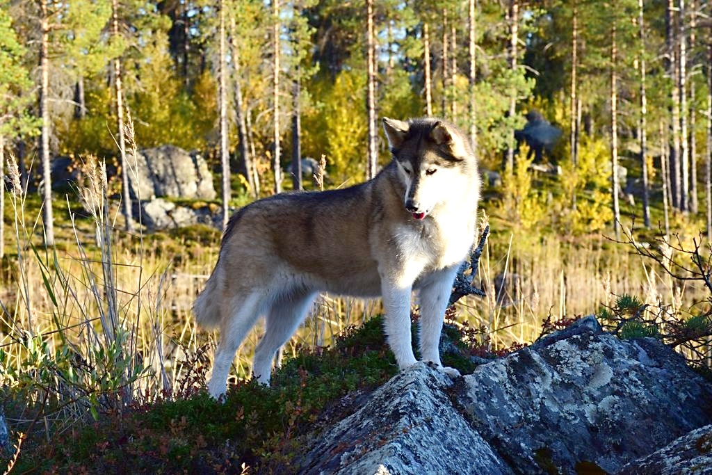 siberian husky wikipedia. Black Bedroom Furniture Sets. Home Design Ideas