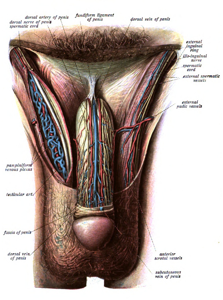 Fundiform Ligament Wikipedia
