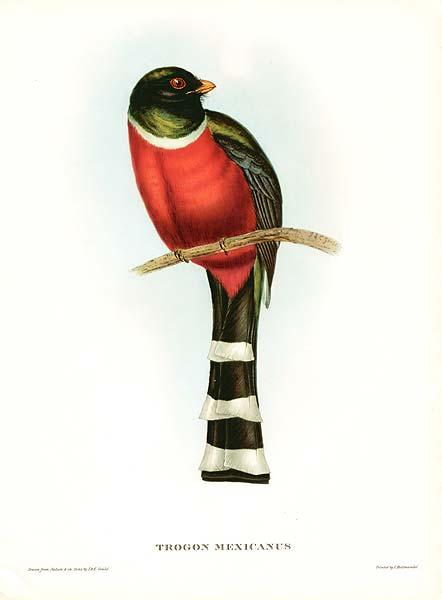 Trogon mexicanus John Gould.jpg