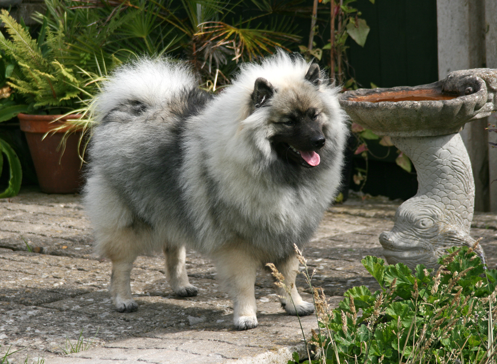 Keeshond And Cats File:Tuppence t...