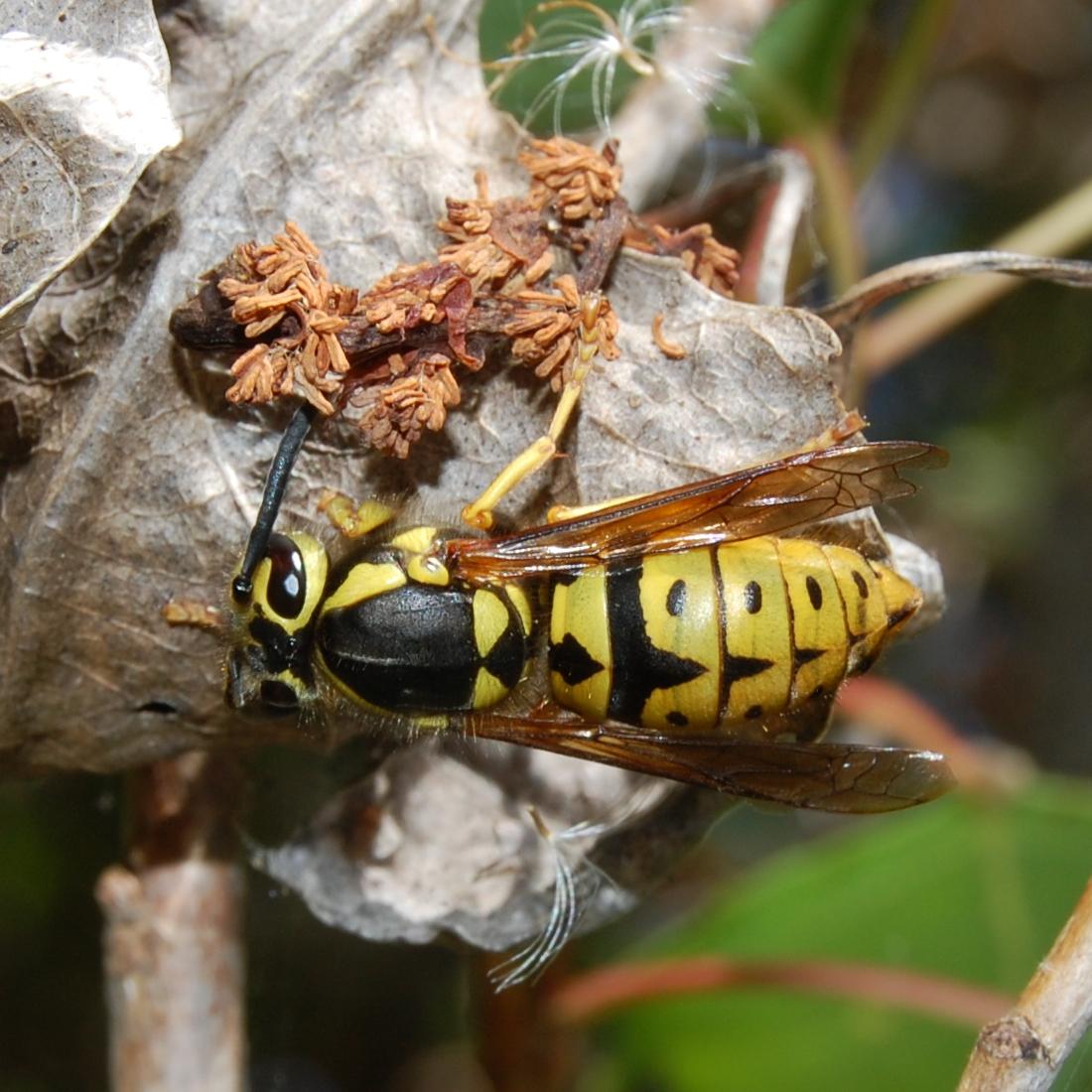 Queen Yellow Jacket Vespula pensylvanica -...