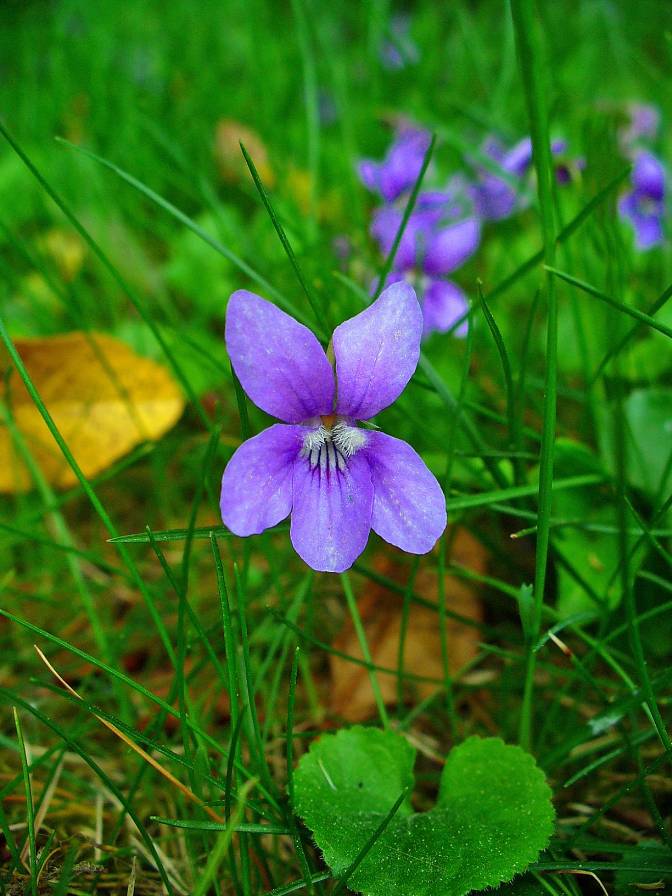 Viola odorata – Wikipédia, a enciclopédia livre