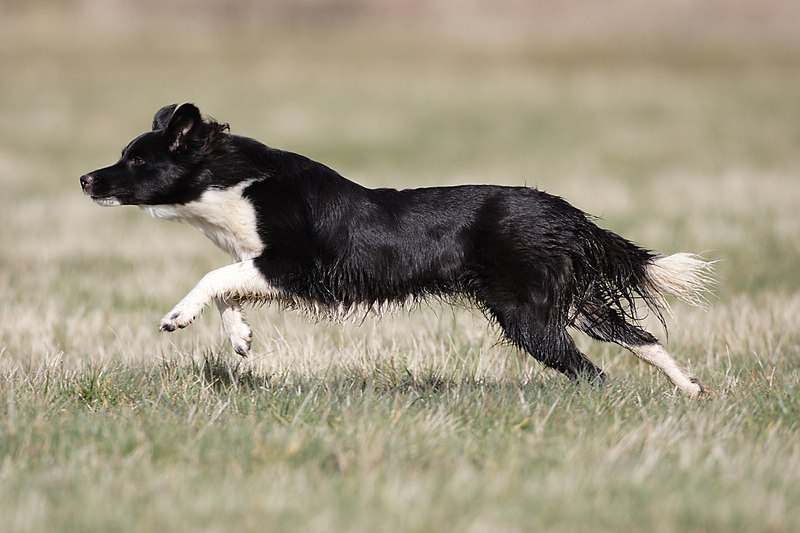 Image result for border collie