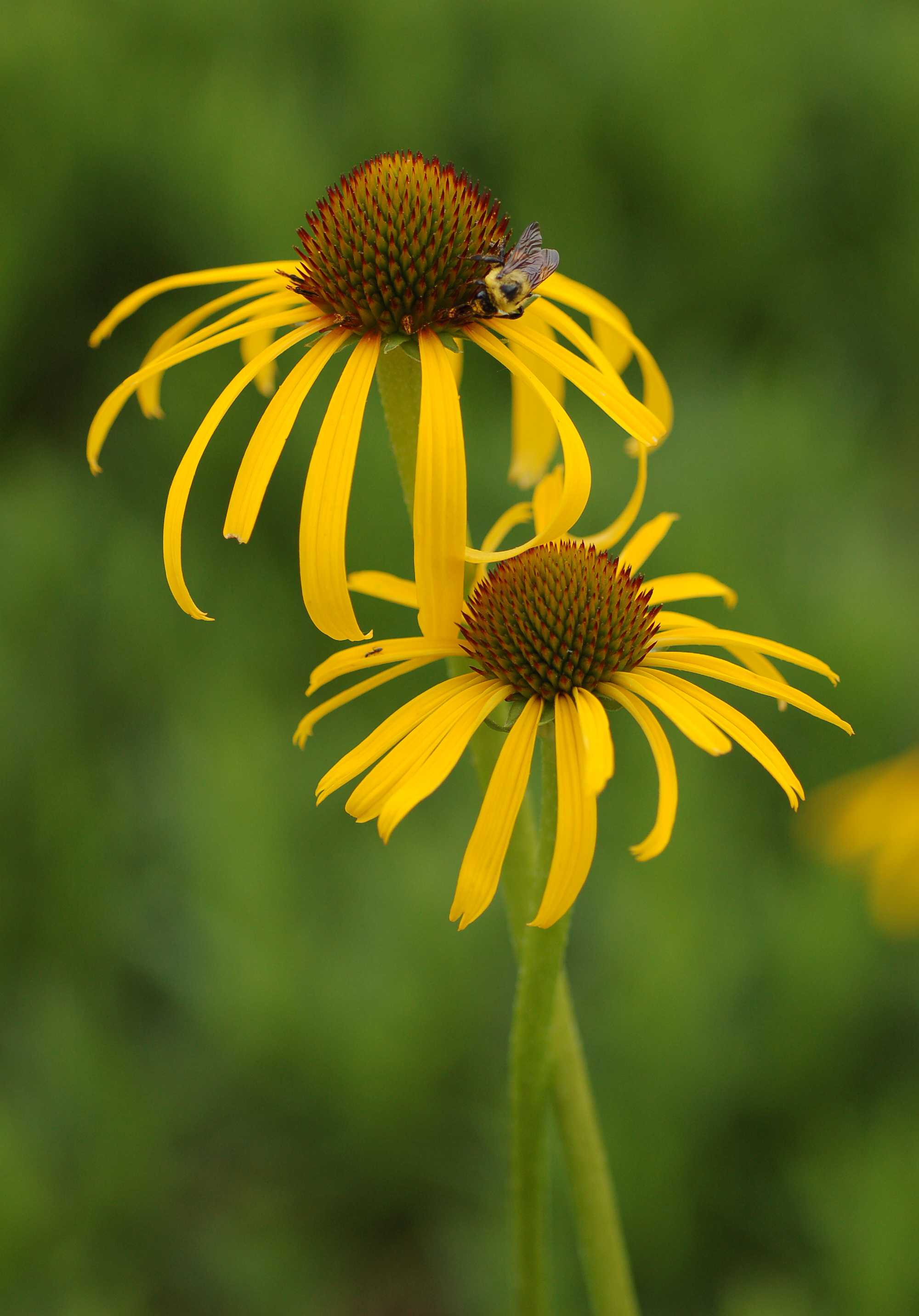 Fileyellow Coneflower Echinacea Paradoxa Twisted Pair Bee 2000px