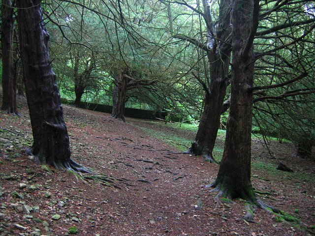 Yew woods, Arnside Knott. - geograph.org.uk - 52918