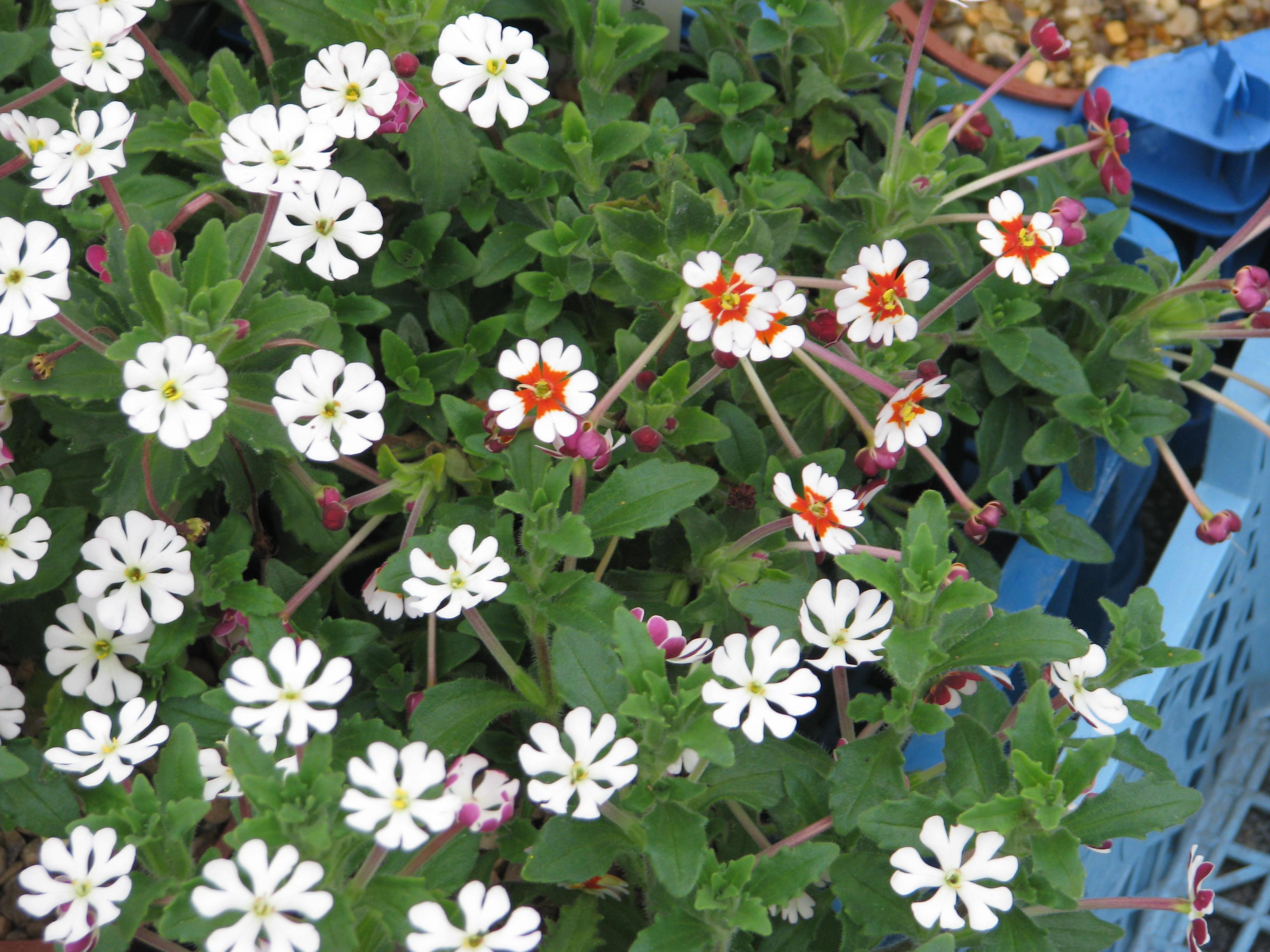 花瓣的形状、排列(向上、向下或打开、半闭合等)均会影响昆虫来播粉的次数。(维基百科)