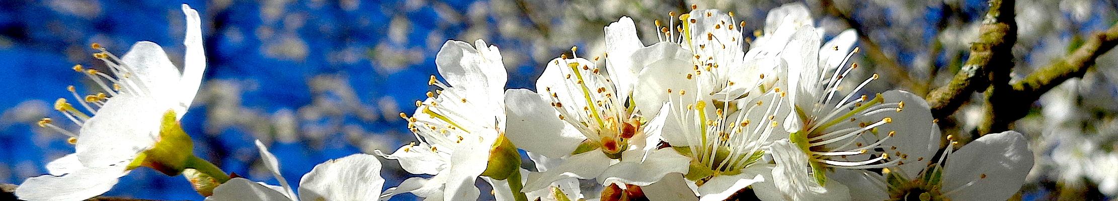 Весеннее цветение для преподобного Герасима Болдинского.