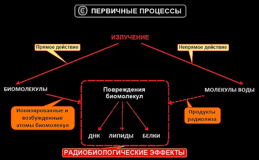 Файл:Первичные радиобиологические процессы.png — Википедия