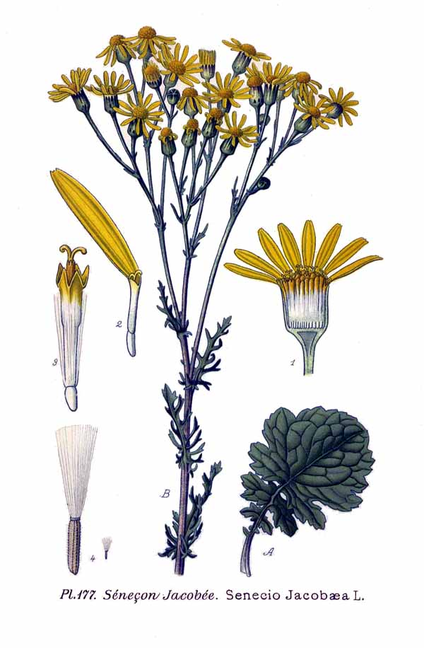 177 Senecio jacobaea L.  Amédée Masclef [Public domain], via Wikimedia Commons