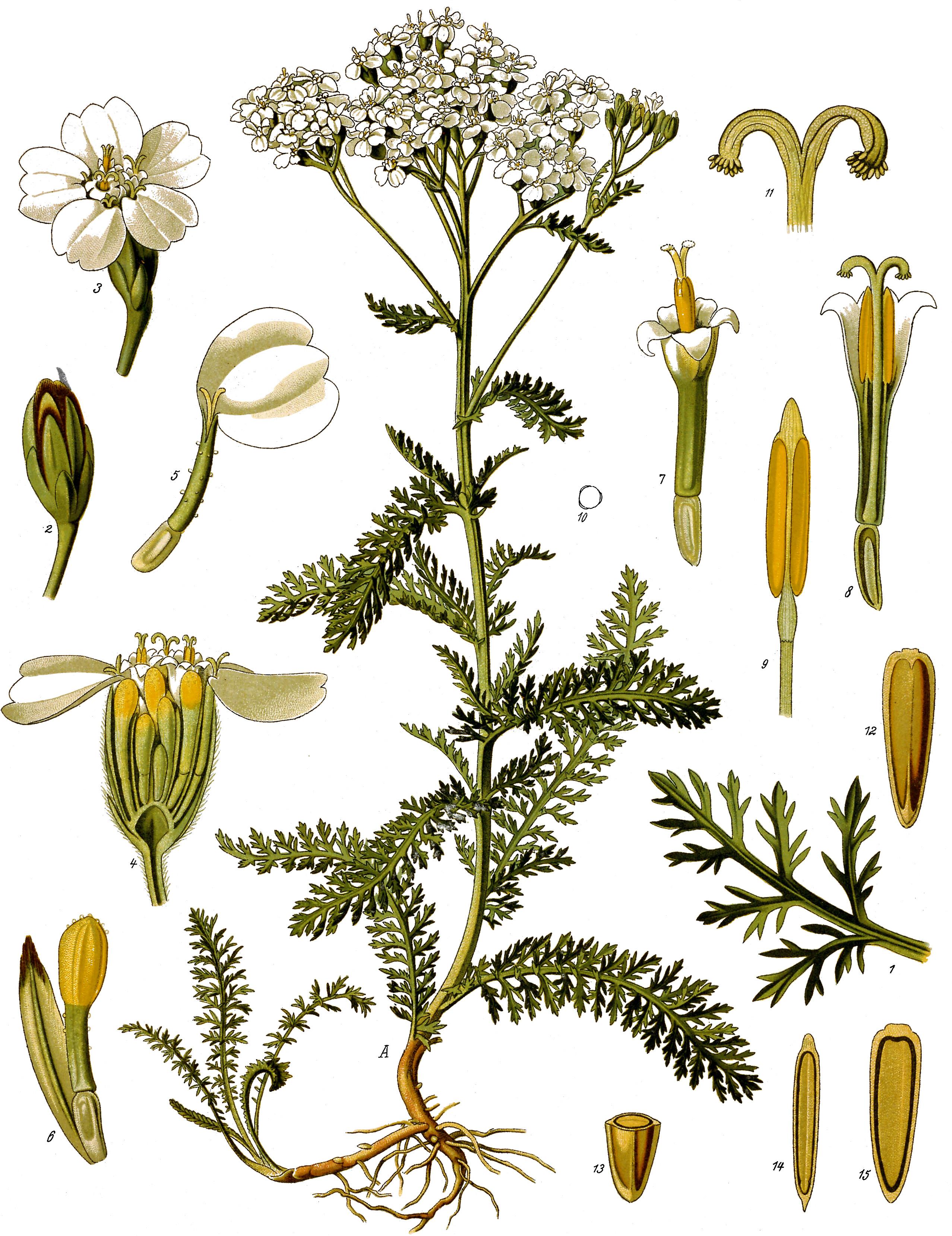 http://upload.wikimedia.org/wikipedia/commons/4/41/Achillea_millefolium_-_K%C3%B6hler%E2%80%93s_Medizinal-Pflanzen-149.jpg