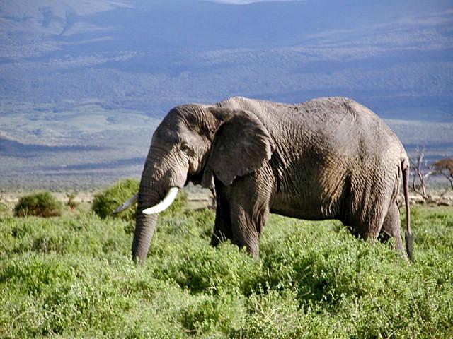 Soubor:African Elephant in Kenya.jpg