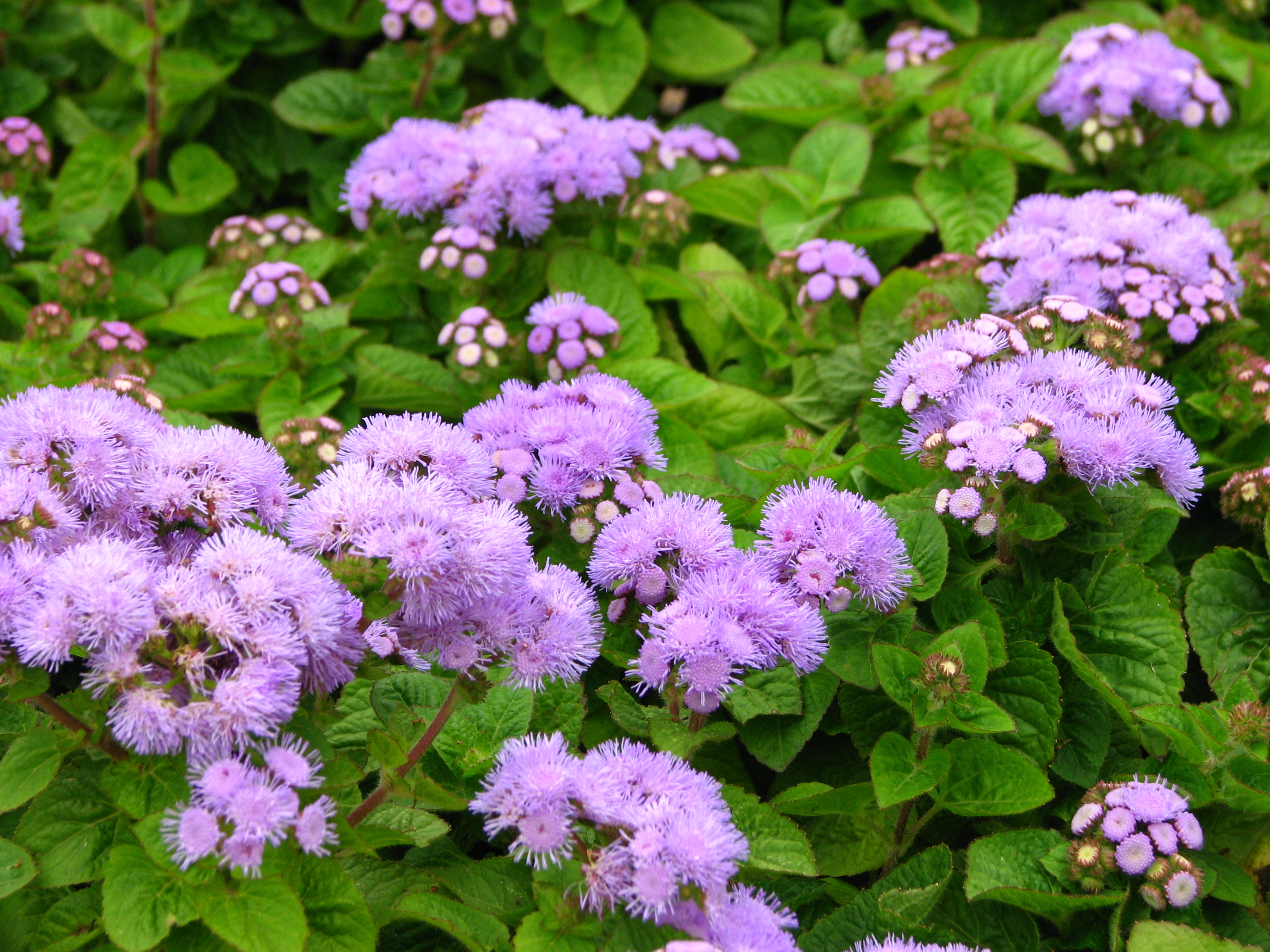 File Ageratum Houstonianum In A Flowerbed